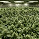 %Reliable Cannabis Blogs And Information %Cannabis Shop Online